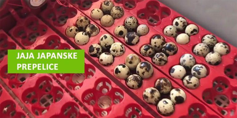 Jaja od japanske prepelice: kako se koriste, iskustva, šta leče?