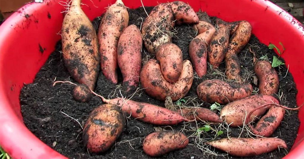 uzgoj slatkog krompira batata