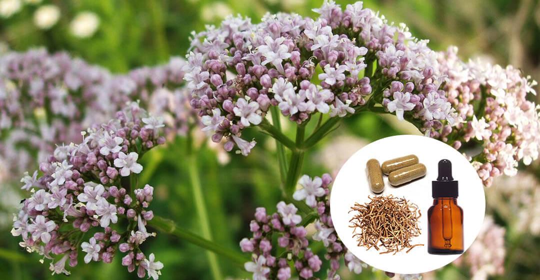 valerijana biljka slika