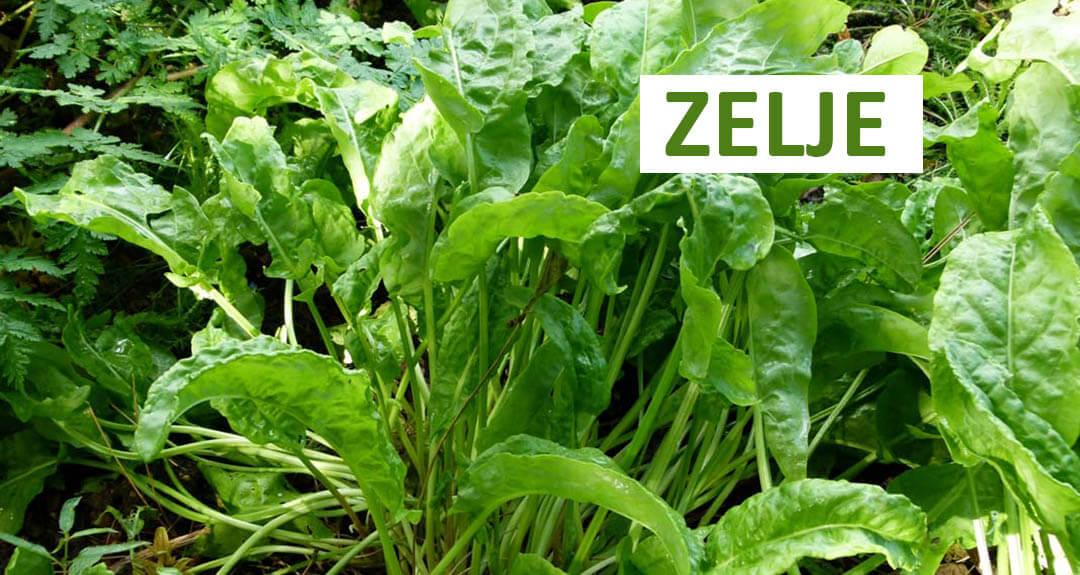 zelje biljka slika